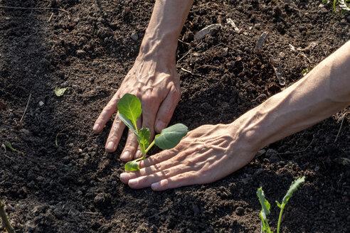 Man planting kohlrabi - NDF00868
