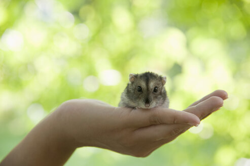 Portrait of hamster crouching in woman's cupped hand - CRF02851
