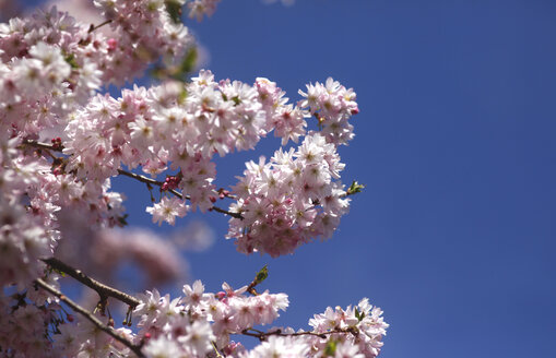 Flowering cherry tree, copy space - JTF01201