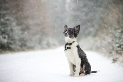 Border Collie puppy in snow - MJOF01690