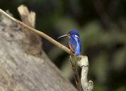 Borneo, Alcedo meninting, Blue-eared kingfisher perching on a twig - ZC00758