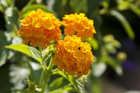 Lantana camara flower - CSF29337