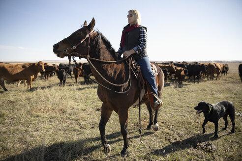 Female rancher herding cattle on horseback - HEROF33701