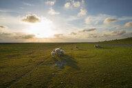 Germany, Westerhever, sheep in sunset - MKFF00484