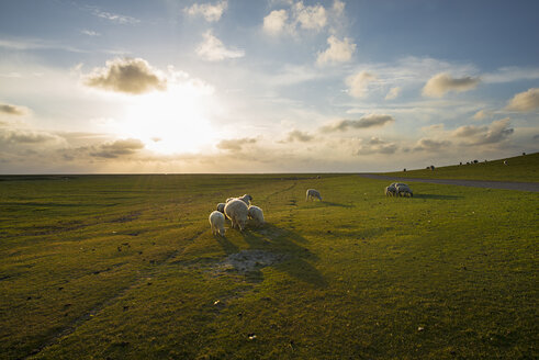 Germany, Westerhever, sheep in sunset - MKFF00484