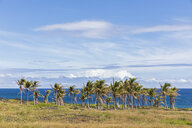 USA, Hawaii, Big Island, Volcanoes National Park, palm grove at the coast - FOF10533