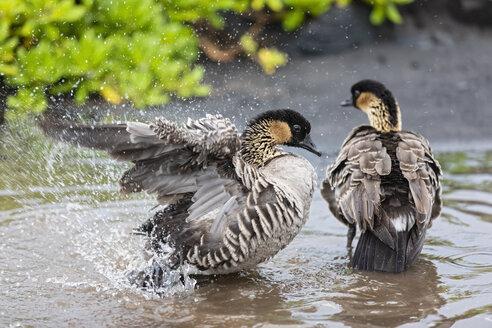 USA, Hawaii, Big Island, Volcanoes National Park, two Hawaiian geese taking a bath - FOF10557