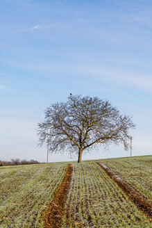 Germany, Baden-Wuerttemberg, Uissigheim, single tree in field - EGBF00291