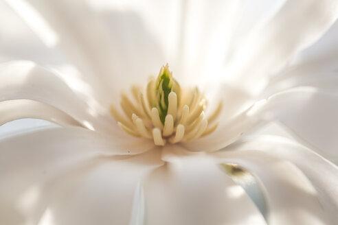 Nahaufnahme einer weißen Sternmagnolienblüte(Magnolia stellata) - SARF04216