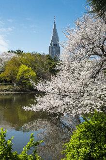 Japan, Tokyo, cherry blossom at Shinjuku Gyo-en Park - RUNF01809