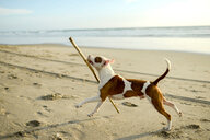 Dog playing with stick on beach - ISF21068