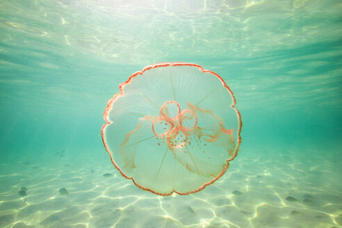 Moon jellyfish harbouring baby fish for protection against predators - ISF21080
