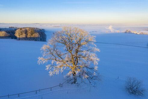 Germany, Bavaria, Degerndorf, oak in winter at sunrise, aerial view - SIEF08560