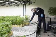 Grower inspecting cannabis seedlings - HEROF35459
