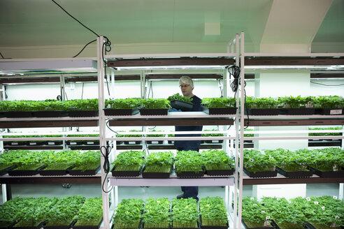 Grower inspecting cannabis seedlings in incubation - HEROF35465