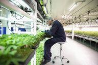 Grower inspecting cannabis seedlings in incubation - HEROF35468