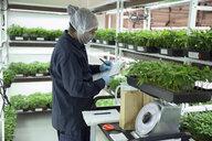 Grower weighing cannabis seedlings - HEROF35474