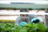 Grower inspecting cannabis seedlings in incubation - HEROF35477