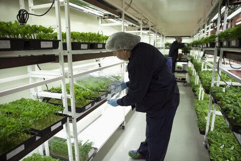 Grower inspecting cannabis seedlings in incubation - HEROF35480
