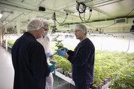 Growers inspecting cannabis seedlings in incubation - HEROF35483