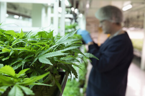 Grower inspecting cannabis seedlings in incubation - HEROF35486