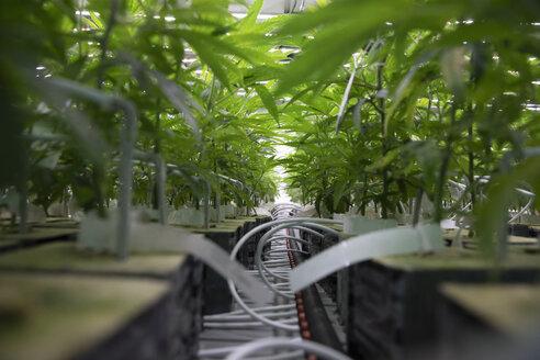 Cannabis seedlings in incubation - HEROF35498