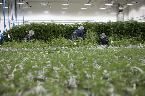 Growers tending to cannabis plants - HEROF35504