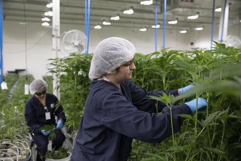 Growers tending to cannabis plants - HEROF35507