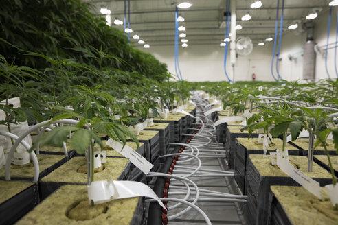 Cannabis plants growing indoors - HEROF35510
