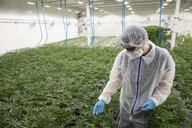 Grower in clean suit inspecting cannabis plants - HEROF35513
