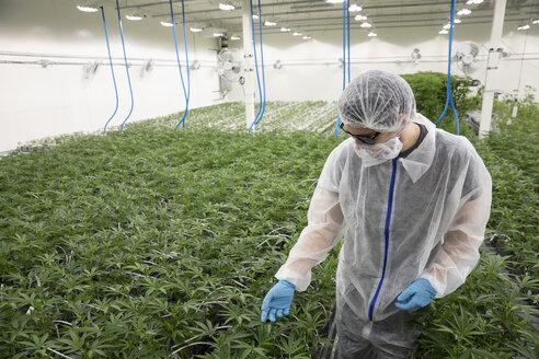 Grower in clean suit inspecting cannabis plants - HEROF35513