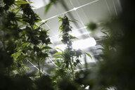 Cannabis plant growing indoors - HEROF35516