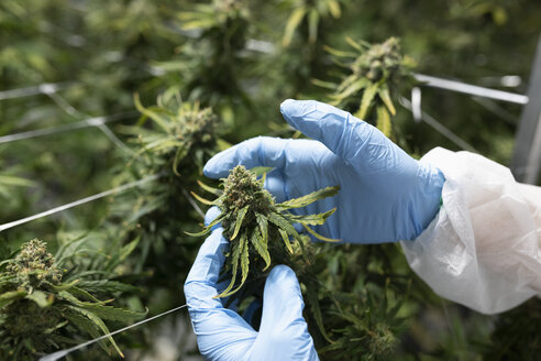 Grower inspecting cannabis plant - HEROF35522