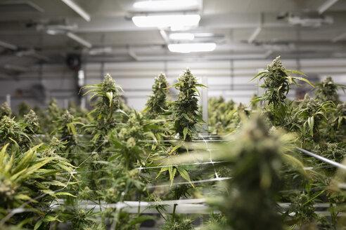 Cannabis plants growing indoors - HEROF35525