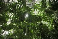 Green cannabis plants growing indoors - HEROF35531