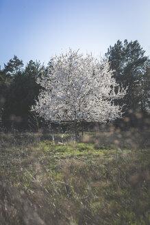 Germany, Brandenburg, flowering mirabelle tree - ASCF00946