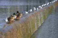 Germany, Riem, Messesee, row of ducks and seagulls crouching on a weir - AXF00818