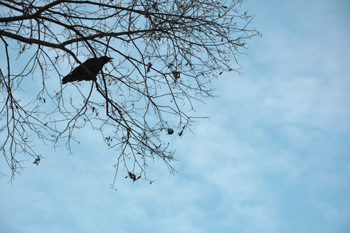 Silhouette of a crow perching on twig of a bald tree - AXF00824