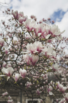 Blossoming Magnolia tree - ASCF00954
