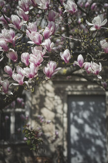 Magnolia blossoms in front of an old house - ASCF00957