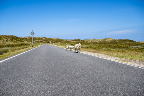 Germany, Schleswig-Holstein, Sylt, sheep on a road - EGBF00309