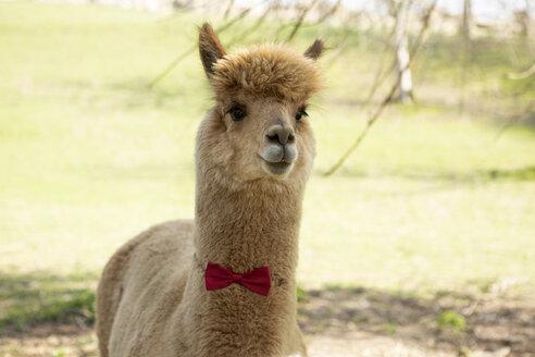 Portrait of brown alpaca wearing red bow tie - FLLF00104