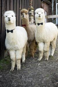 Portrait of three tame alpacas wearing bow ties - FLLF00107
