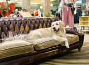 Golden retriever dog resting on an antique sofa - MGOF04026