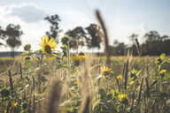 Germany, field with sunflowers and ears - ASCF00964