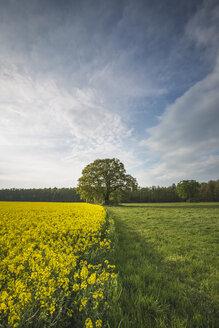 Germany, Brandenburg, idyllic landscape with rape field, meadow and oak tree - ASCF00965