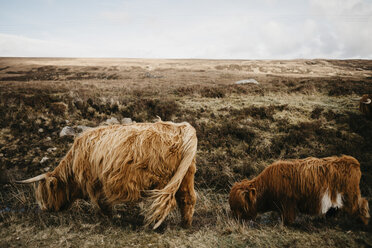 UK, Scotland, Highland, longhorn cattle on pasture - LHPF00649