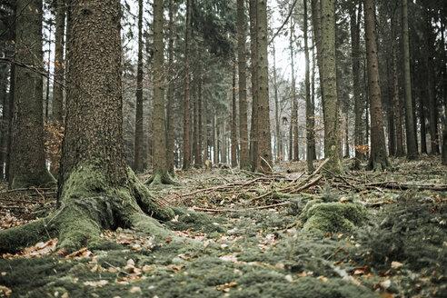 Coniferous forest - DWF00404