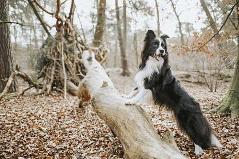 Border Collie standing on trunk in the forest - DWF00425