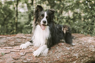 Border Collie on tree log in the forest - DWF00434